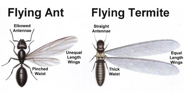 termite with wings or flying ant